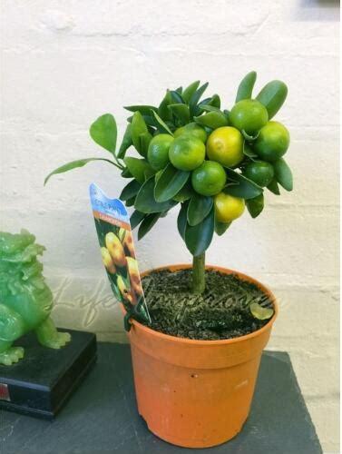 Bibit Jade Vine garden pot stand reviews shopping garden pot