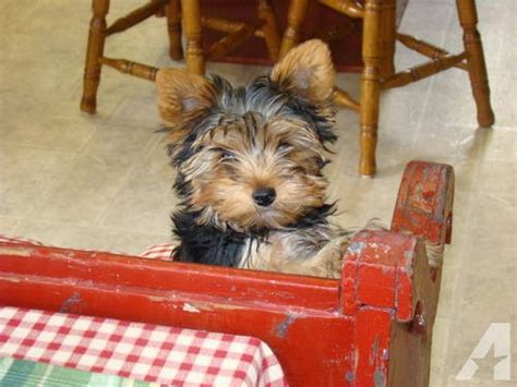 yorkie and chihuahua mix for sale chihuahua yorkie mix dogs n puppy for sale for sale in partlow virginia classified