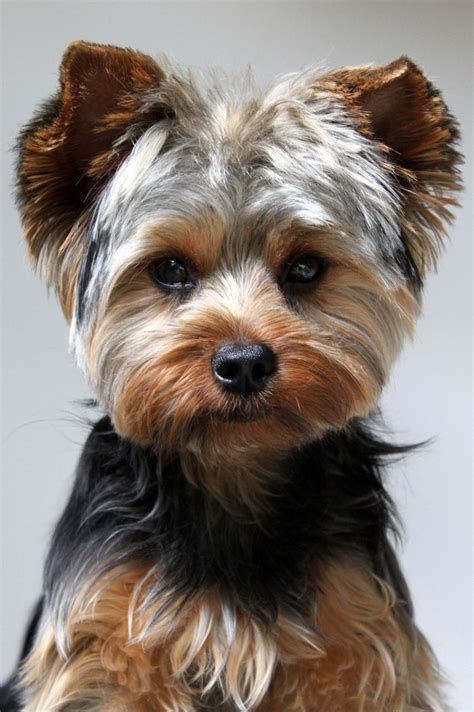 mohawk style for yorkie 17 best yorkies with full tails undocked yorkies images