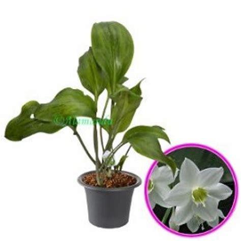 Pupuk Untuk Bunga Lili jual tanaman hp 085608566034
