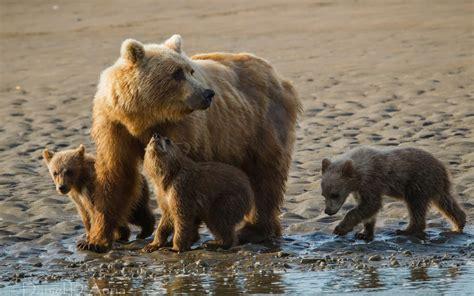 imagenes relajantes de animales imagenes hilandy fondo de pantalla animales oso con sus crias