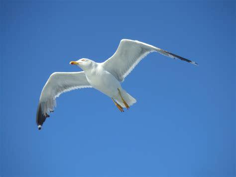 il volo gabbiano file gabbiano in volo jpg wikimedia commons