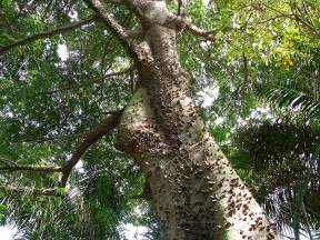 What Plants Grow In The Tropical Rainforest - kapok tree cool ed tk