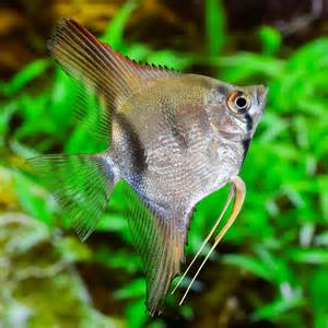 Blue Angelfish   Pterophyllum scalare for Sale Online   PetSolutions