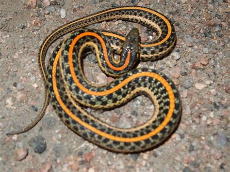 Garden Snake With Yellow Stripe 107 Best Images About Reptiles In Canada On