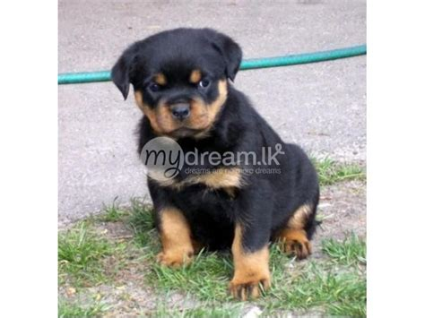 rottweiler sale sri lanka rottweiler puppies animals colombo mydream lk