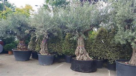 when do live trees go on sale mediterranean garden plants uk 10 best mediterranean plants