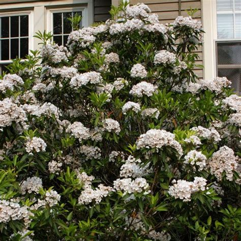 mountain laurel kalmia latifolia pa state flower deer resistant evergreen for dry shade