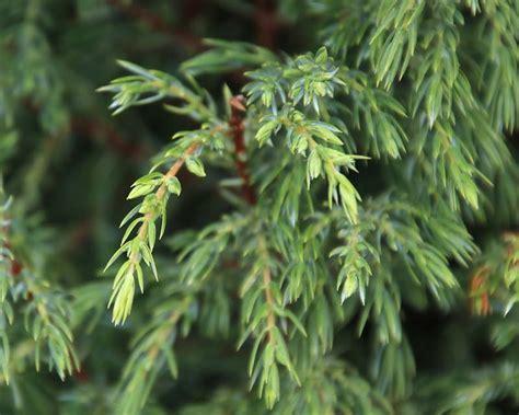 gardensonline juniperus communis hibernica