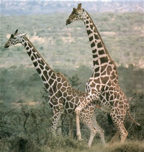 imagenes uñas jirafas fascinating giraffe facts you probably did not know