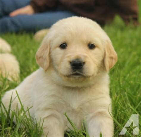 golden retriever breeders mo white golden retriever puppies for sale by breeders in missouri breeds picture