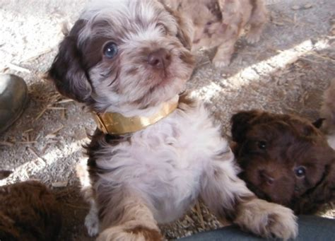 havanese and poodle mix for sale chocolate cafe merle shih poo puppies for sale day puppies ohsunny day puppies