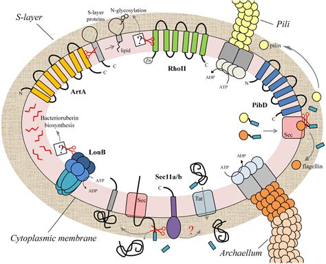 frontiers archaeal membrane  proteases