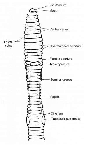 Earthworm Diagram And Label Earthworm Crassiclitellata Terrimegadrili