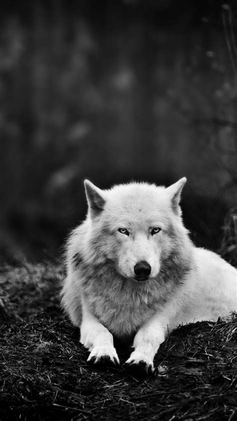 wallpaper iphone 5 wolf 640x1136 white wolf in the wild iphone 5 wallpaper