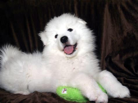 how much are samoyed puppies samoyed puppy feeding schedule