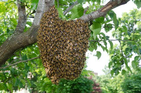 how to capture a bee swarm modern farmer