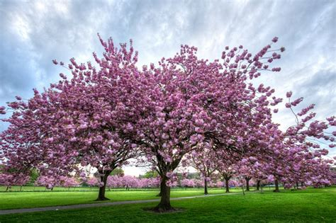 interesting facts  cherry trees hunker