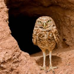 Tiny Two Story House by Listen To Burrowing Owls Hiss Like Rattlesnakes Audubon