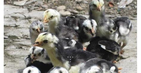 Anakan Ayam Jago cara merawat anak ayam bangkok tarung jago