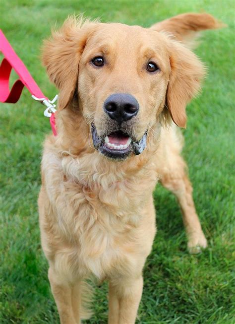 golden retriever rescue of michigan best 25 golden retrievers for adoption ideas on child friendly dogs