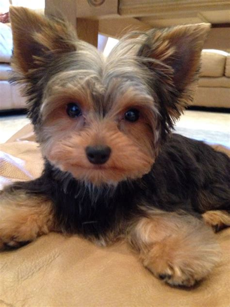 pictures of a puppy cut for yorkies duke of yorkie first puppy cut back from the groomers