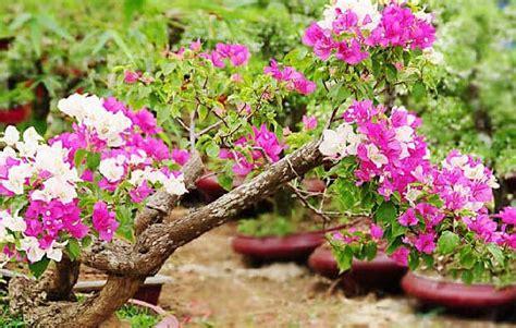 Pupuk Untuk Tanaman Bunga Kertas panduan cara menanam bunga kertas bergambar gambar bunga