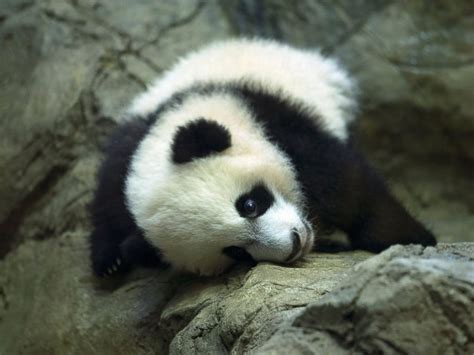 www panda panda cub bei bei makes 1st appearance at