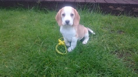 puppies for sale in tulsa beagle puppies for sale in tulsa breeds picture