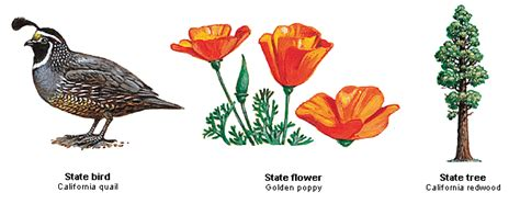 ca state flower quotes gardening flower and vegetables california state bird state bird flower tree