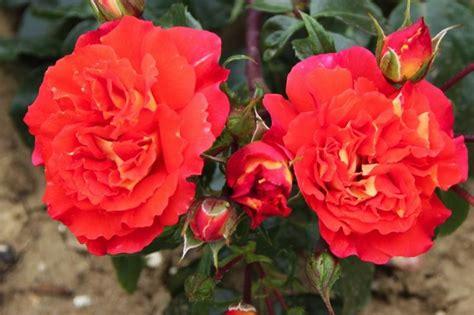 buy eternal flame roses  ashridge trees