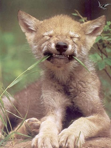 timber wolf puppies 94 best images about wolves on wolves coyotes and a wolf