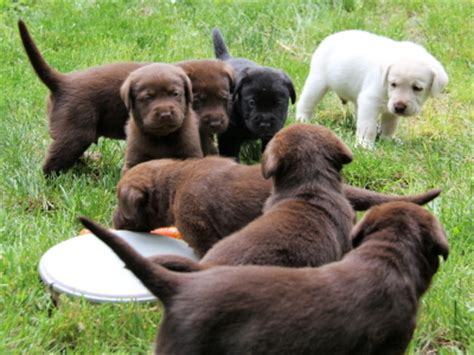 golden retriever puppies for sale vancouver bc labrador retriever breeders vancouver island bc merry photo