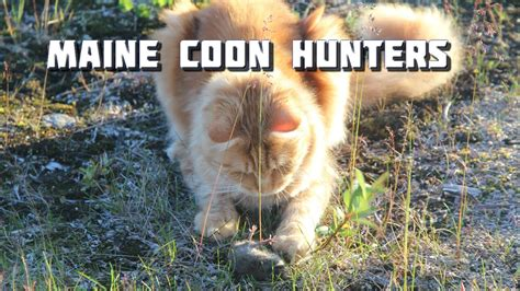how to a to coon hunt maine coon beautiful maine coon
