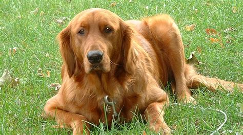 kidney disease in golden retrievers eye disease in dogs golden retriever uveitis