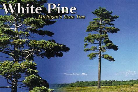 michigan tree michigan state tree flickr photo