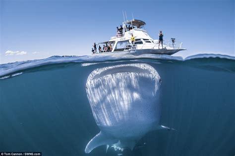 whale shark dwarfs boat off western australian coast - Living On A Boat In Western Australia
