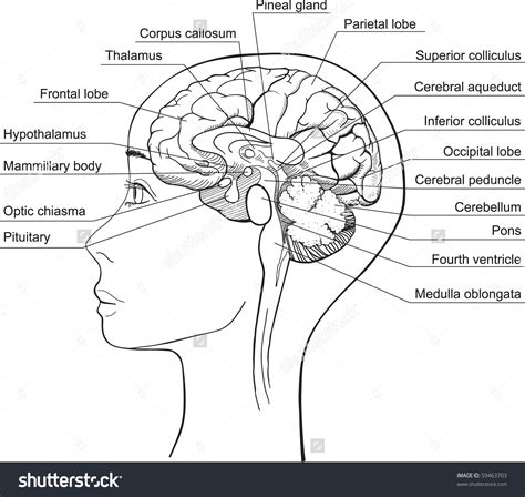 sagittal section of brain labeled labeled diagram of sagittal section of human brain