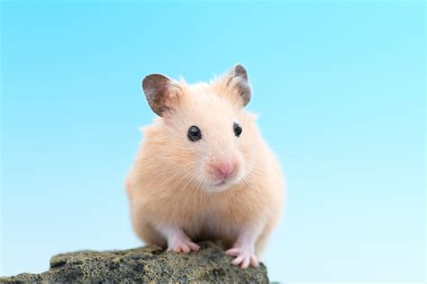 blue hamster reasons why hamsters aren t the best pets for children or