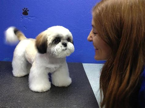 dog hair styles new haircut 56 best images about shih tzu grooming hairstyles on