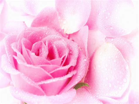 wallpaper hd pink flowers pink flower wallpaper hd high quality wallpapers