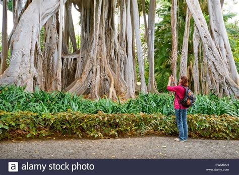 Botanical Gardens Tenerife Ficus Tree Botanic Garden De La Tenerife Canary Stock Photo Royalty Free Image
