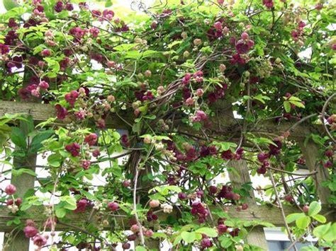 evergreen climbing plants for trellis vine shown on trellis fiveleaf akebia akebia quinata
