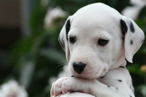puppy dalmatian dalmatian puppy dogs wallpaper