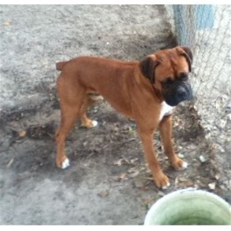 puppies in sc boxer breeders in south carolina freedoglistings
