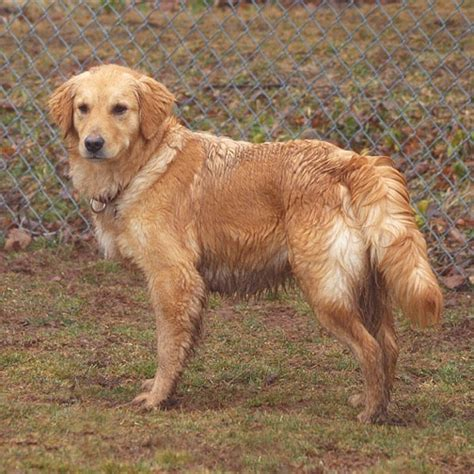 delaware valley golden retriever 34 best images about available dogs dvgrr on adoption care and