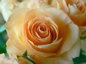 colored roses file apricot colored closeup jpg wikimedia commons