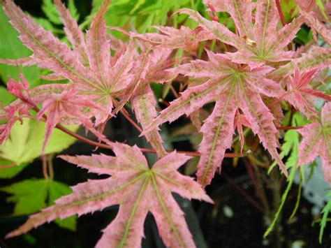 acer palmatum phoenix klon palmowy phoenix acer palmatum phoenix