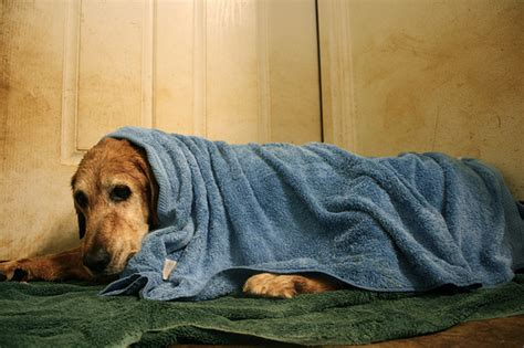 puppy cold symptoms signs symptoms of winter hypothermia in dogs waycooldogs