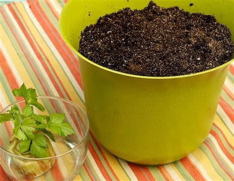 Bibit Biji Seledri cara menanam daun seledri daun sop di pot atau polybag